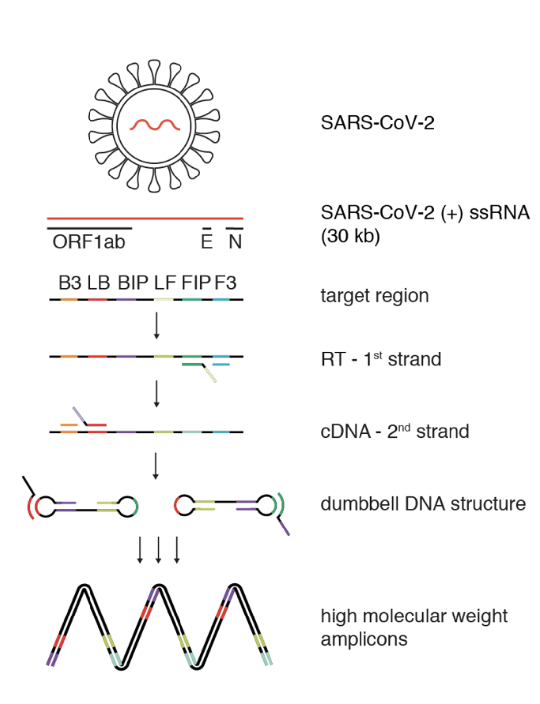 the Loop-mediated isothermal amplification after reverse transcription (RT-LAMP) method